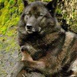 Mis amigos los lobos