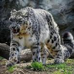 Leopardo Enfadado